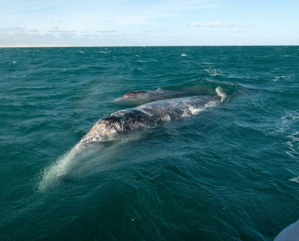 Gray_whale1web