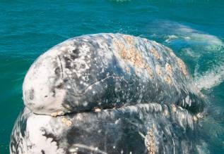 whale-lips